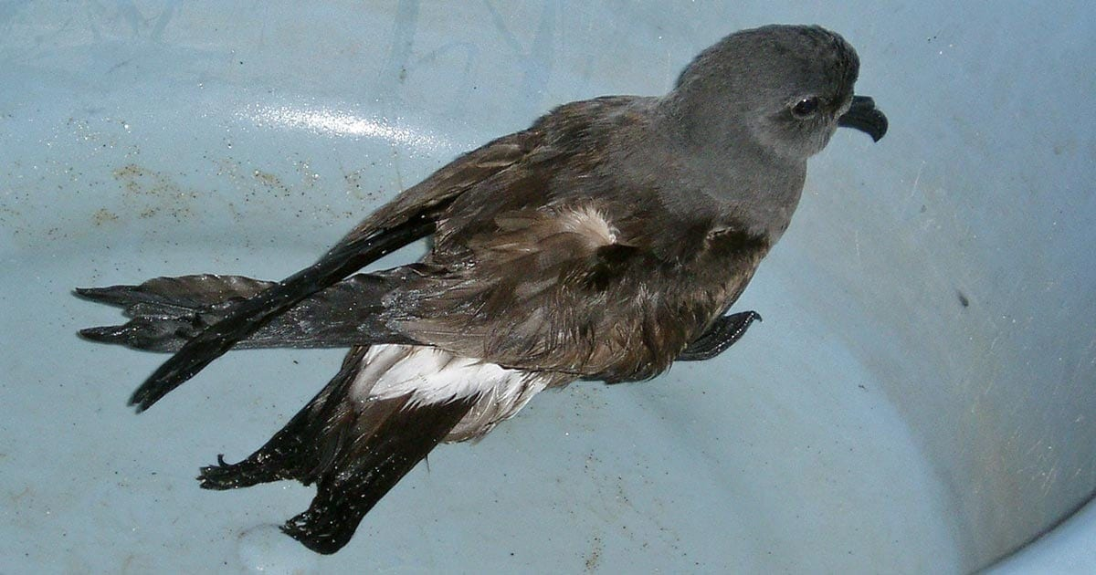 The Petrels of Sable Island - Sable Island Institute