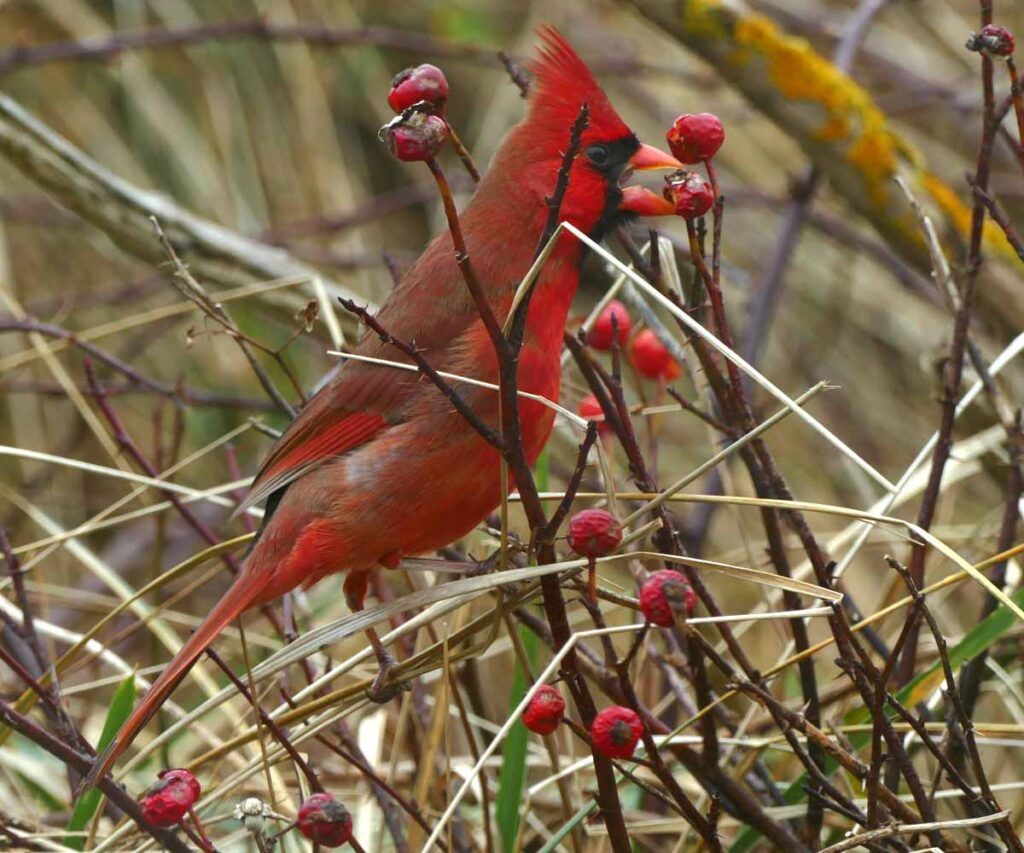 Bright red bird with a large pink bill, perched and feeding in a thicket of tall beach grass and leafless twigs of wild rose.